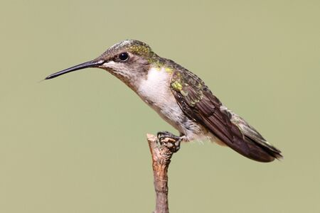 Juvenile Ruby-throated Hummingbird (archilochus colubris) on a perch with a green background Stock Photo