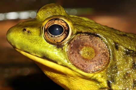 sunning: Close-up of a Green Frog (Rana clamitans) sunning in summer Stock Photo