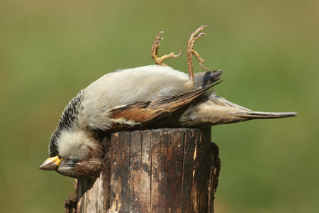 passer by: Dead House Sparrow (Passer domesticus) on a stump Stock Photo