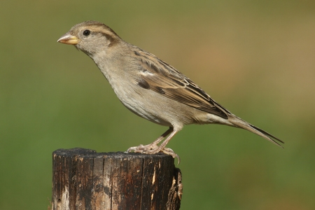 domesticus: Female House Sparrow (Passer domesticus) with a green background Stock Photo