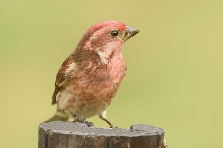 male animal: Male Purple Finch (Carpodacus purpureus) perched with a green background