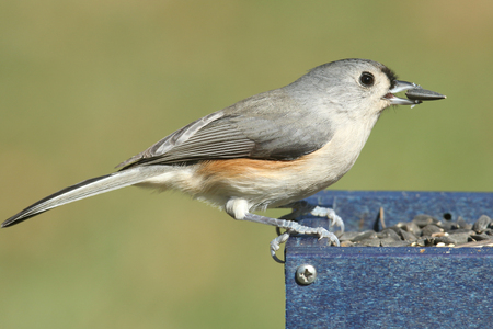 sunflower seed: Tufted Titmouse (baeolophus bicolor) on a feeder with a sunflower seed