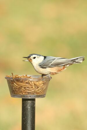 mealworm: White-breasted Nuthatch (sitta carolinensis) on a feeder with a mealworm