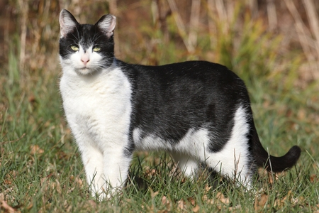 Feral or Stray Tuxedo Cat showing clipped left ear indicating that it has been neutered. Due to the mild weather, this animal appears healthy before the harsh winter sets in. Most cats living in the wild live only a year or two and kill many native wild b Stock Photo