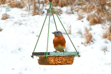 Male Eastern Bluebird (Sialia sialis) perched on a feeder in snow Stock Photo