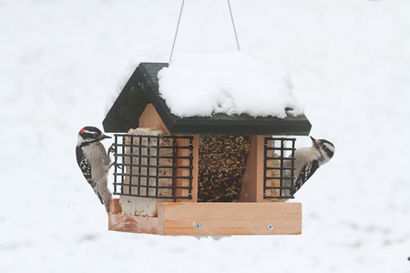 Downy Woodpeckers (Picoides pubescens) on a feeder with snow