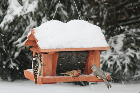 Downy Woodpecker (Picoides pubescens), House Finch (Haemorhous mexicanus) and Tufted Titmouse (Baeolophus bicolor) on a feeder in snow