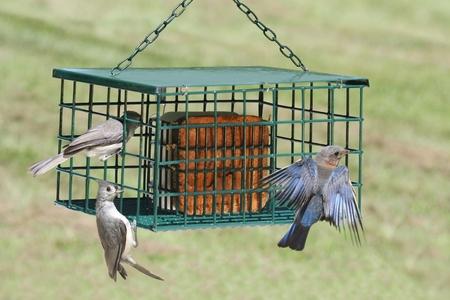 eastern bluebird: Eastern Bluebird (Sialia sialis) and Tufted Titmouse (Baeolophus bicolor) on a Suet Feeder
