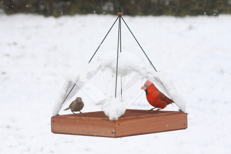 finch: Northern Cardinal (Cardinalis) and House Finch (Haemorhous mexicanus) on a feeder in snow