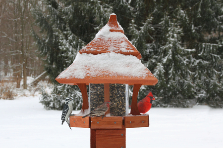 snow cardinal: Northern Cardinal (Cardinalis), House Finch (Haemorhous mexicanus) and Downy Woodpecker (Picoides pubescens) on a feeder in snow