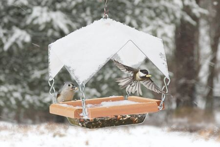 Black-capped Chickadee (Poecile atricapillus) and Tufted Titmouse (Baeolophus bicolor) on a feeder with snow
