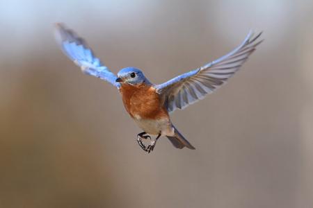 male animal: Male Eastern Bluebird (Sialia sialis) in flight