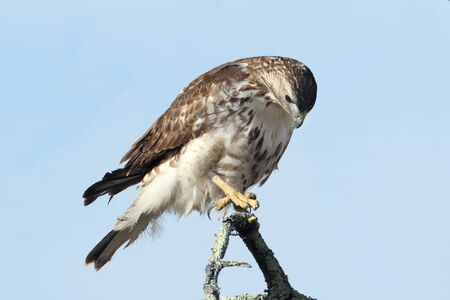 redtail: Perched Juvenile Red-tailed Hawk (buteo jamaicensis) with blue sky