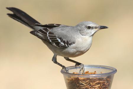 mockingbird: Northern Mockingbird (Mimus polyglottos) on a feeder Stock Photo