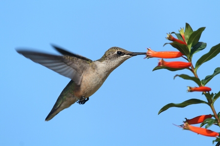 Juvenile Ruby-throated Hummingbird (archilochus colubris) in flight at a flower with a blue background Imagens