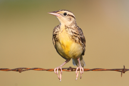 wire fence: Western Meadowlark (sturnella neglecta) sitting on barbed wire Stock Photo