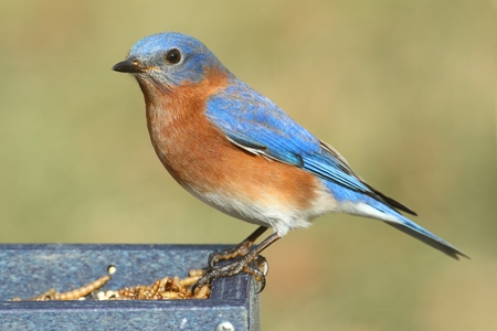Male Eastern Bluebird (Sialia sialis) on a mealworm feeder Stock Photo