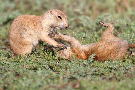 oklahoma: Black-tailed Prairie Dog (Cynomys ludovicianus) playing in the grass in Oklahoma