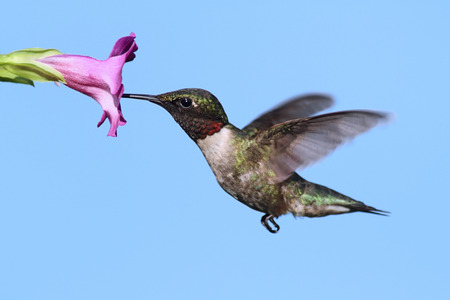 Male Ruby-throated Hummingbird (archilochus colubris) in flight with a purple flower and a blue sky background