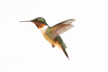 Ruby-throated Hummingbird (archilochus colubris) in flight isolated on a white background