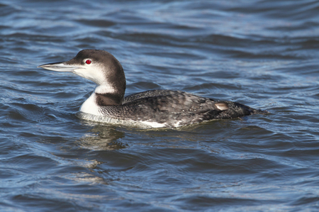 Common Loon (Gavia immer) swimming in the ocean in winter