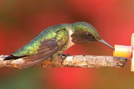 Colibrí garganta de rubí macho (archilochus colubris) en una percha con un fondo colorido Foto de archivo