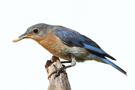 Female Eastern Bluebird (Sialia sialis) on a perch - Isolated on a white background Stock Photo