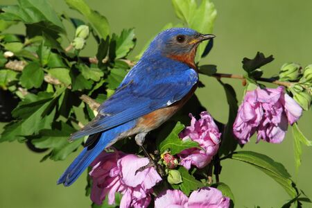 Male Eastern Bluebird (Sialia sialis) on a perch with flowers Stock Photo