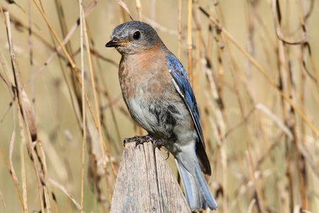 Female Eastern Bluebird (Sialia sialis) on a perch with a brwon background Stock Photo