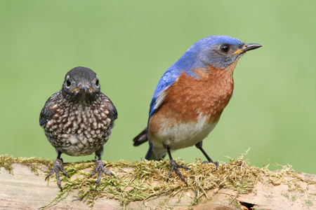 Male Eastern Bluebird (Sialia sialis) with his baby Stock Photo