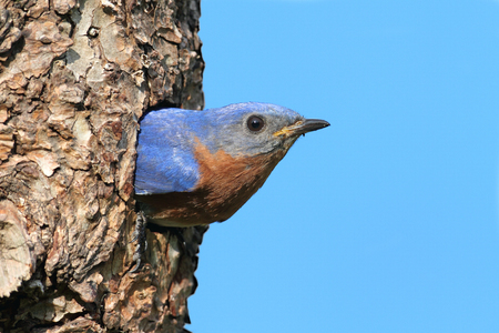 Eastern Bluebird (Sialia sialis) in a nest hole