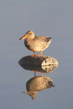 Female (hen) Northern Shoveler (Anas clypeata) on a log in blue water