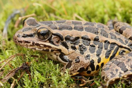 Pickerel Frog (Lithobates Rana palustris) sunning in spring