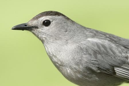 Gray Catbird (Dumetella carolinensis) with a green background