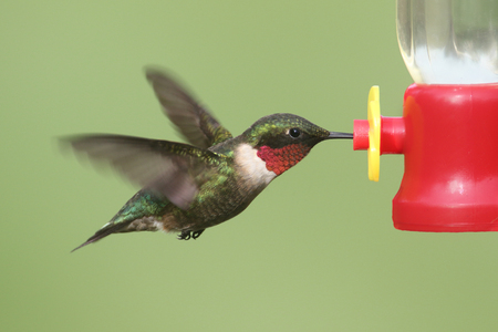 Male Ruby-throated Hummingbird (archilochus colubris) in flight at a feeder with a green background