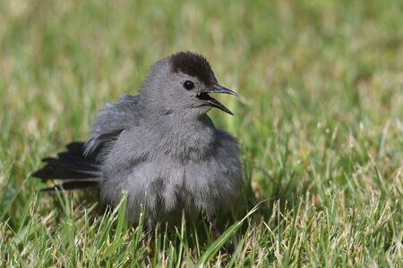 Gray Catbird (Dumetella carolinensis) on a lawn