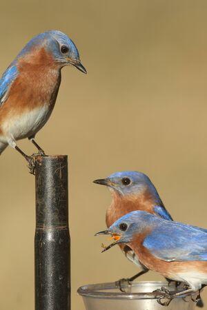 Eastern Bluebird (Sialia sialis) on a feeder