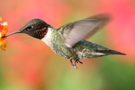 Male Ruby-throated Hummingbird (archilochus colubris) in flight with a colorful floral background Stock Photo