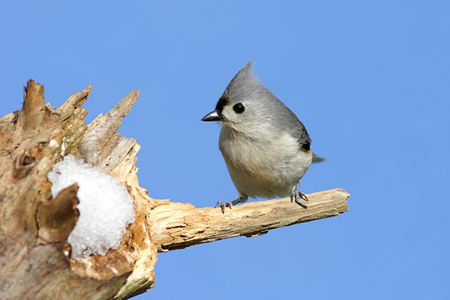 Tufted Titmouse (baeolophus bicolor) on a perch with a blue background