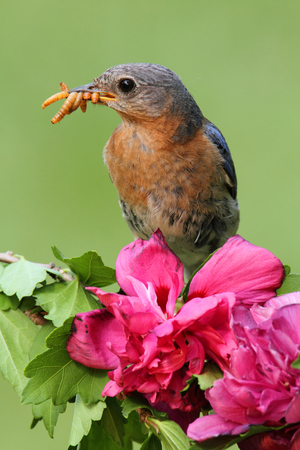 Female Eastern Bluebird (Sialia sialis) on a perch with flowers Stock Photo