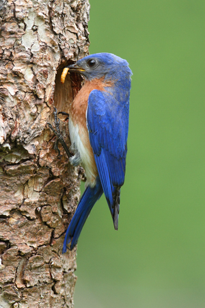 Male Eastern Bluebird (Sialia sialis) carrying a worm
