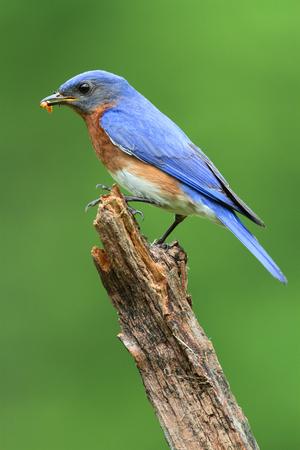 Male Eastern Bluebird (Sialia sialis) carrying a worm