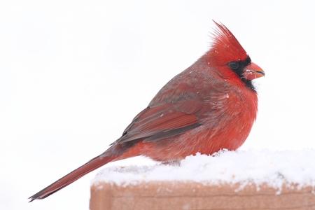 snow cardinal: Male Northern Cardinal (cardinalis cardinalis) on a feeder in a snow storm Stock Photo