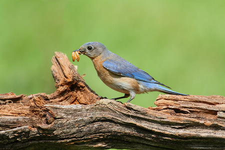 Female Eastern Bluebird (Sialia sialis) carrying an insect