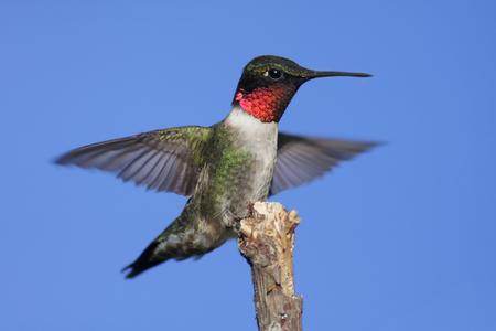 Colibrí garganta de rubí (archilochus colubris) en una percha