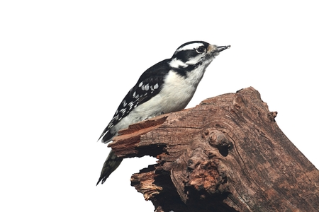 Downy Woodpecker (Picoides pubescens) on a branch isolated with a white background Stock Photo