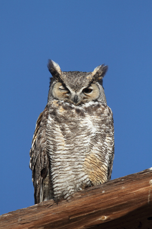 Great Horned Owl (Bubo virginianus) perched with a blue sky background
