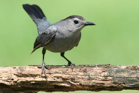 Gray Catbird (Dumetella carolinensis) on a perch with a green background