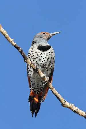 Northern Flicker (Colaptes auratus) Red-shafted on a branch with a blue background Imagens