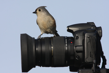 Tufted Titmouse (Baeolophus bicolor) perched on a camera